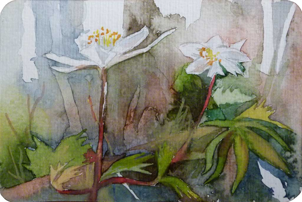 Buschwindröschen (c) Miniatur in Aquarell von Frank Koebsch