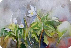 Frühlingserwachen der Anemonen (c) Miniatur in Aquarell von Frank Koebsch