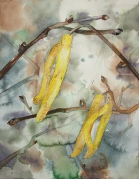 Hasel im Frühling (3) (c) Aquarell von FRank Koebsch