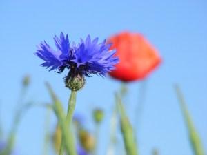 Kornblumenblau im Sommer (1)