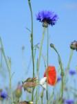Kornblumenblau im Sommer (2)