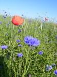 Kornblumenblau im Sommer (3)