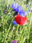 Kornblumenblau im Sommer (4)