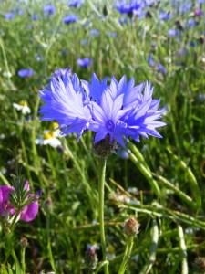 Kornblumenblau im Sommer (5)