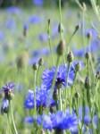 Kornblumenblau im Sommer (6)