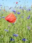 Kornblumenblau im Sommer (7)