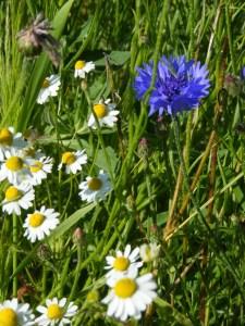 Kornblumenblau im Sommer (8)
