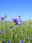 Kornblumenblau im Sommer (9)