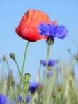 Kornblumenblau mit einem Tupfer Rot