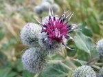 Kletten mit wunderschönen Blüten (c) Frank Koebsch (1)
