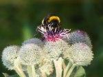 Kletten mit wunderschönen Blüten (c) Frank Koebsch (4)
