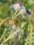 Kletten mit wunderschönen Blüten (c) Frank Koebsch (5)