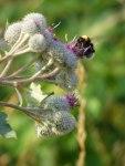 Kletten mit wunderschönen Blüten (c) Frank Koebsch (6)