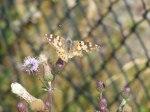 Kratzdistel - Lockmittel für Schmetterlinge (c) Frank Koebsch (2)
