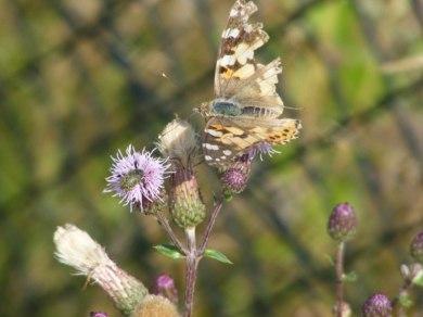 Kratzdistel - Lockmittel für Schmetterlinge (c) Frank Koebsch (3)