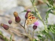Kratzdistel - Lockmittel für Schmetterlinge (c) Frank Koebsch (4)