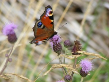 Kratzdistel - Lockmittel für Schmetterlinge (c) Frank Koebsch (5)