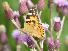 Kratzdistel - Lockmittel für Schmetterlinge (c) Frank Koebsch (6)