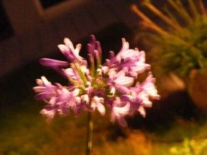 Licht Klang Nacht 2010 (9) Blüten der Nacht