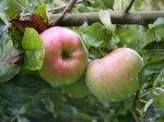 Apfel Rot (c) Frank Koebsch (1)