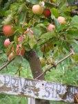 Apfel Rot (c) Frank Koebsch (2)
