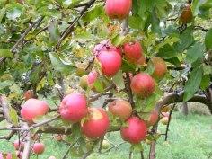 Apfel Rot (c) Frank Koebsch (3)