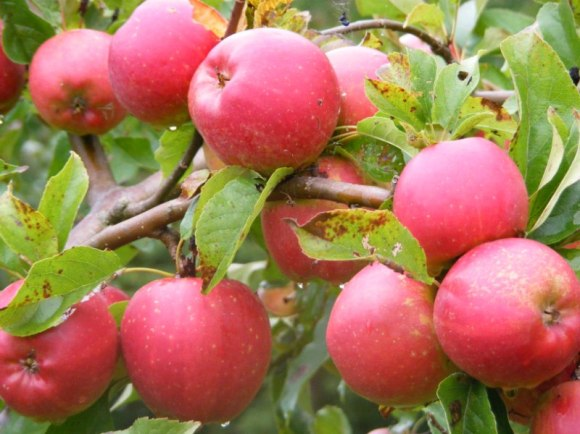 Apfel Rot (c) Frank Koebsch (4)