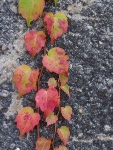 Rote Blätter im Herbst (C) Frank Koebsch (1)