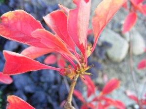 Rote Blätter im Herbst (C) Frank Koebsch (11)