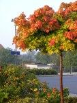Rote Blätter im Herbst (C) Frank Koebsch (2)