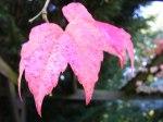 Rote Blätter im Herbst (C) Frank Koebsch (4)