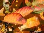 Rote Blätter im Herbst (C) Frank Koebsch (5)