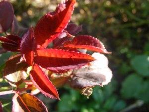 Rote Blätter im Herbst (C) Frank Koebsch (6)