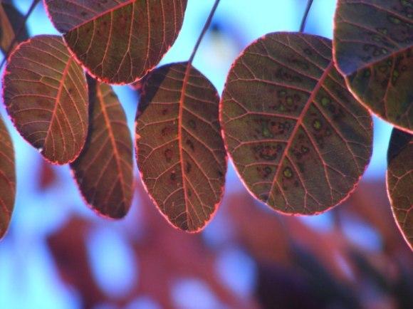 Rote Blätter im Herbst (C) Frank Koebsch (8)