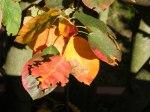 Rote Blätter im Herbst (C) Frank Koebsch (9)