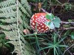 Rote Pilze mit weißen Tupfen (c) Frank Koebsch (1)