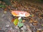 Rote Pilze mit weißen Tupfen (c) Frank Koebsch (2)