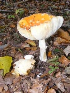 Rote Pilze mit weißen Tupfen (c) Frank Koebsch (3)