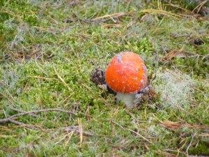 Rote Pilze mit weißen Tupfen (c) Frank Koebsch (4)
