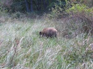 Wildschwein am Bodden (c) Frank Koebsch (1)