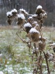 Disteln im Winter (c) Foto von Frank Koebsch