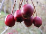 rote Beere im Herbst (c) Frank Koebsch