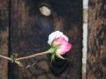 Rosen als Eisblumen (c) FRank Koebsch (1)