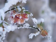 Rosen als Eisblumen (c) FRank Koebsch (4)
