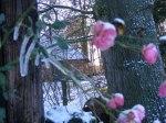 Rosen als Eisblumen (c) FRank Koebsch (6)