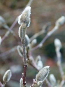Magnolienblüten 12. Febr. 2011 (1)