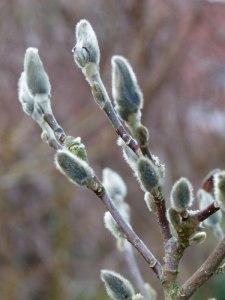 Magnolienblüten 12. Febr. 2011 (2)