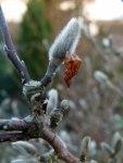 Magnolienblüten 5. Febr. 2011 (1)