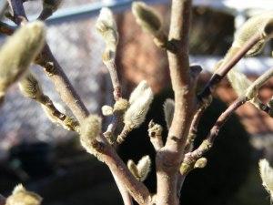 Magnolienblüten 06. März 2011 (2)