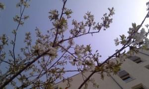Obstblüten im grünen Stuttgart